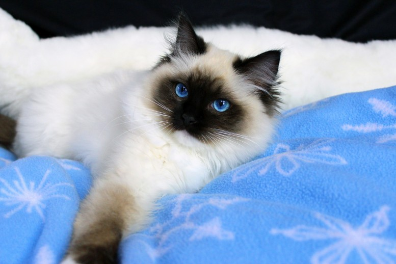 Springvaledolls | Breeding the highest quality ragdolls since 1993